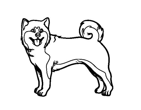 coloriage de chien d u0027akita pour colorier coloritou com