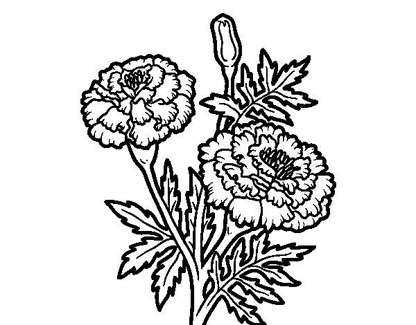 Coloriage de Fleur de merveille pour Colorier