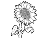 Dibujo de Fleur de tournesol