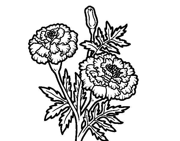Coloriage de Fleur merveille pour Colorier
