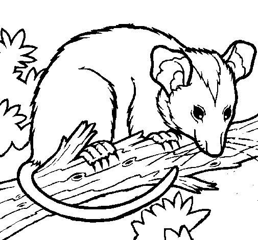 Coloriage de Opossum  pour Colorier