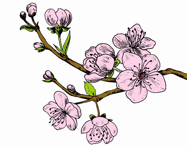 Dessin de branche de cerisier colorie par membre non - Dessin fleur de cerisier ...