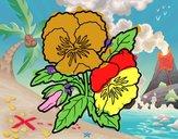 Fleurs de pensée