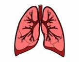 Poumons et bronche