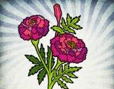 Fleur merveille