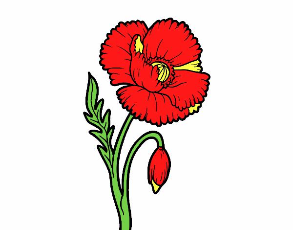 Une fleur de coquelicot