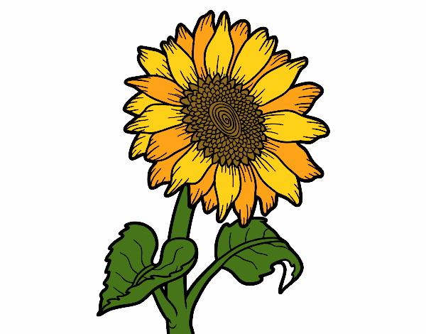 Dessin de fleur de tournesol colorie par membre non - Dessin de tournesol ...