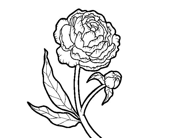 Coloriage De Pivoine Pour Colorier Coloritou Com